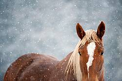 Chestnut horse in the snow