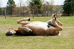 Young Belgian Horse Rolling around outside