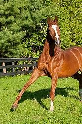 Thoroughbred horse running around paddock