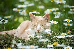 Photo of orange cat with daisies