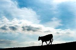 Cow walking down a hill silhouetted against the evening sky