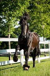 Friesian stallion