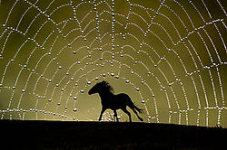 Horses silhouetted against a background of a dew laden spider web