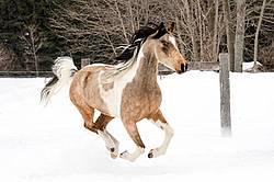 Paint and Arab cross horse running through snow