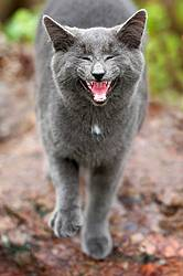 Gray cat meowing