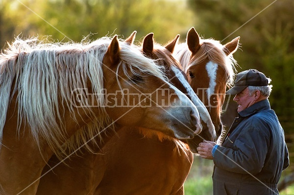 A man being greeted by his three Belgian horses