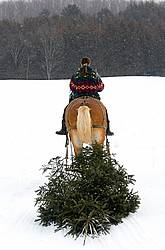 Woman riding a harnessed Belgian stallion pulling a Christmas tree.