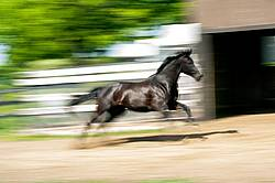 Hanoverian horse galloping around his paddock
