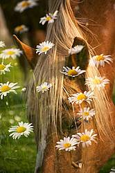 Chestnut horse portrait with daisies