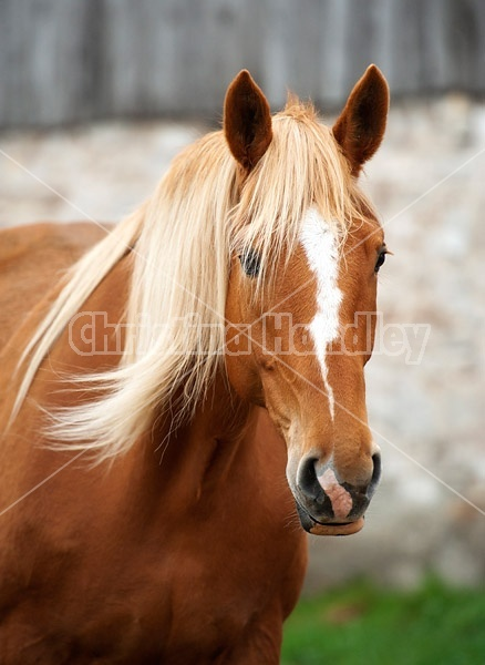 Portrait of a chestnut horse