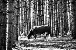 Beef cow walking through forest