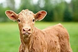 Charolais Cross Calf