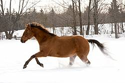Single horse galloping through deep snow