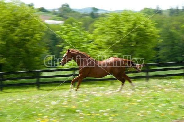 Thoroughbred gelding galloping around his paddock