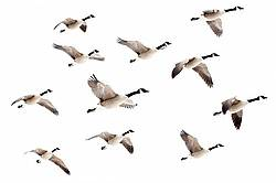 Flock of Canada Geese flying over