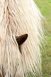 Long blonde mane and forelock of Belgian draft horse