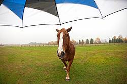 Chestnut horse and umbrella