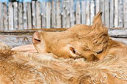 Charolais beef cow