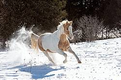 Pinto horse galloping through deep snow