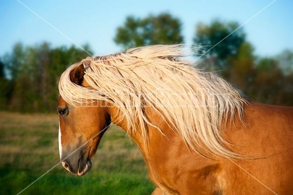 Photo of a belgian draft horse