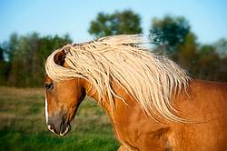 Photo of a belgian draft horse