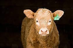 Baby beef calf standing in doorway