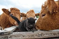 Beef Cows and Barn Cat