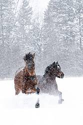 Horses galloping through deep snow